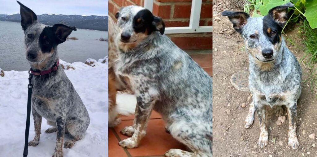 three photos of my cattle dog Bindi, with her ears in different positions