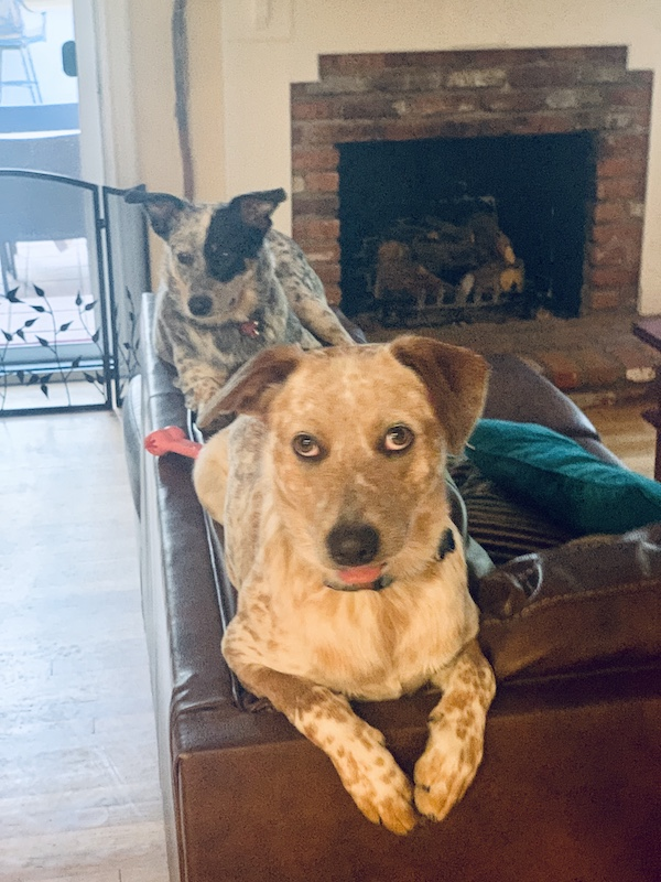 Cattle Dogs folded, pricked and floppy ears
