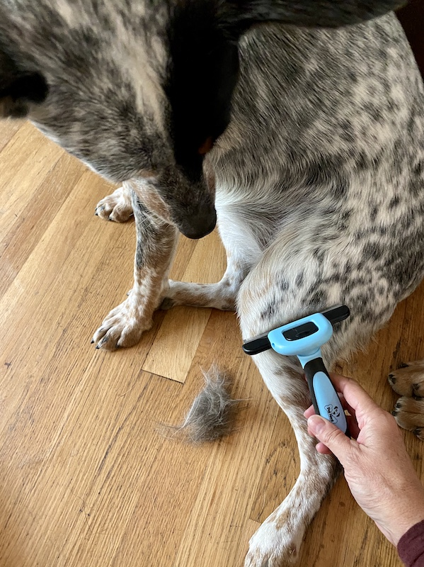 Cattle Dog Grooming