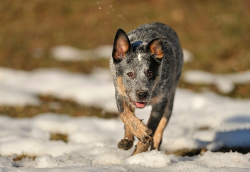 cattle dog hunting